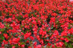 Red flowers background Stock Photo