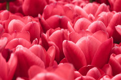 Red Flowers Background. Horizontal abstract of bright red flowers  with shallow depth of field Royalty Free Stock Images