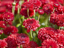 Red flowers background with shallow depth Stock Photos