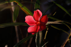 Red flowers background  in Surat Thani Thailand Royalty Free Stock Images