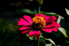 Red flowers background  in Surat Thani Thailand Stock Photography