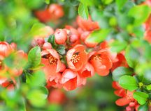 Red flowers on bakground. Royalty Free Stock Photography