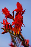 Red flowers. A beautiful red flower is in full bloom on a sunny summer day Stock Images