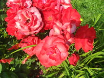 Red flowers. The beauty and purity of nature Royalty Free Stock Images