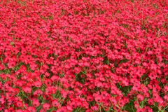 Red flowers on bed, poppy Stock Photography