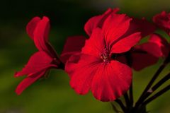 Red flowers begonia geranium. Close-up of red flowers begonia geranium in macro stock photo