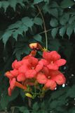 Red flowers - Bignonia Unguis -cati Royalty Free Stock Photography