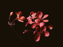 Red flowers on black background Royalty Free Stock Photo