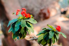Red flowers blooming on a cactus. In an arid greenhouse royalty free stock images