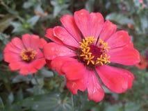 Red Flowers Blooming in Garden stock image