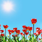 Red flowers blooming tulips against the sky Royalty Free Stock Photos