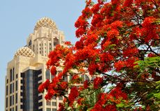 Red Flowers - blossom tree  with Islamic architecture in background. Red Flowers - blossom tree  with Arjaan including souk by Rotana Dubai in background Dubai Royalty Free Stock Images