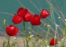 Red flowers on a blue background stock images
