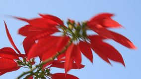 Red flowers and blue sky. The red flowers and blue sky stock video