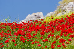 Red flowers and blue sky. Red and yellow flowers and blue sky Stock Photo
