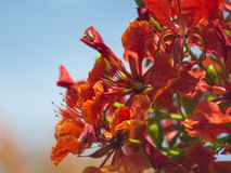 Red flowers on the blue sky.  Stock Images