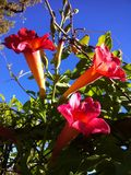 Red flowers with blue sky background Royalty Free Stock Photos