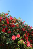 Red flowers and blue sky Royalty Free Stock Image