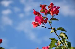 Red flowers, blue sky Royalty Free Stock Photo