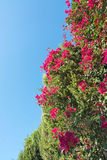 Red flowers blue sky Royalty Free Stock Photography