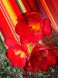 Red flowers with blur coloured effect, green grass, spring time. Red flowers with blur coloured effect in the garden, spring time stock image