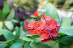 Red flowers on blurred background. Christ Thorn, Crown of thorns. Royalty Free Stock Photo