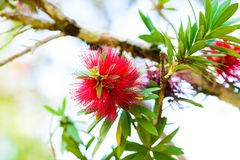 Red flowers of bottle brush tree Stock Photography