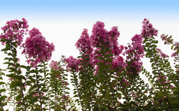 Red flowers of bottle brush tree Callistemon Stock Photography