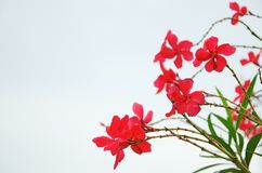 Red flowers Royalty Free Stock Photography