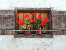 Red Flowers in brown window. During one hiking tour in last August I noticed this very red flowers in the old brown window as part of this old white house. I was Stock Images