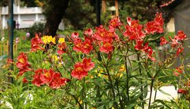 Red flowers in the bryant park, kodaikanal. Beautiful decorative red flowers and buds in the bryant garden, kodaikanal. Kodaikanal is a city near Palani in the stock image