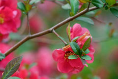 Red flowers on a bush with green leaves soft Royalty Free Stock Image