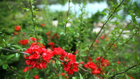 Red flowers on the bushes stock video