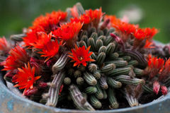 Red flowers cactus Stock Image