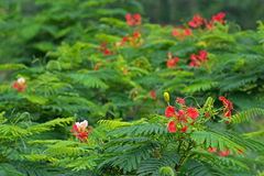 Red flowers of Caesalpinia with blurred background, Thailand, As Royalty Free Stock Image