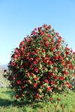 Red flowers of camellia. Japonica in group in Galicia stock photos