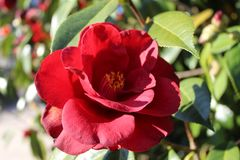 Red flowers of camellia. Japonica in group in Galicia royalty free stock photos