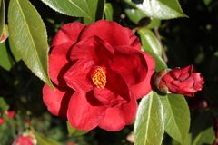 Red flowers of camellia. Japonica in group in Galicia stock photo