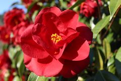 Red flowers of camellia. Japonica in group in Galicia stock photography