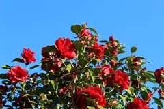 Red flowers of camellia. Japonica in group in Galicia royalty free stock image