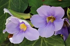 Flowers - Thunbergia grandiflora - Italy Royalty Free Stock Photos