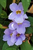 Flowers - Thunbergia  grandiflora - Italy Royalty Free Stock Photography