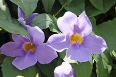 Flowers - Thunbergia  grandiflora - Italy Stock Photography