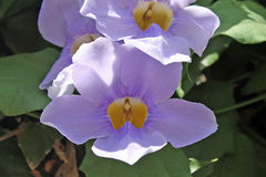 Flowers - Thunbergia grandiflora  - Italy Stock Photos