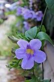 Flowers - Thunbergia grandiflora - Italy Royalty Free Stock Image