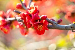 Red flowers Chaenomeles japonica Japanese quince flower. Shallow depth of field Stock Images