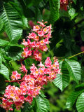 Red flowers of chestnut tree Royalty Free Stock Photo