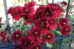 Red flowers of Chrysanthemum in the grating. Red flowers of Chrysanthemum through the grating Royalty Free Stock Images