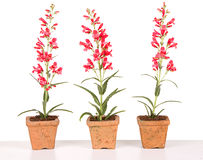 Red flowers in a clay pot Royalty Free Stock Photos