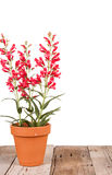 Red flowers in a clay pot Stock Photos